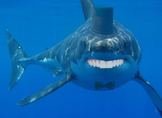 classy shark