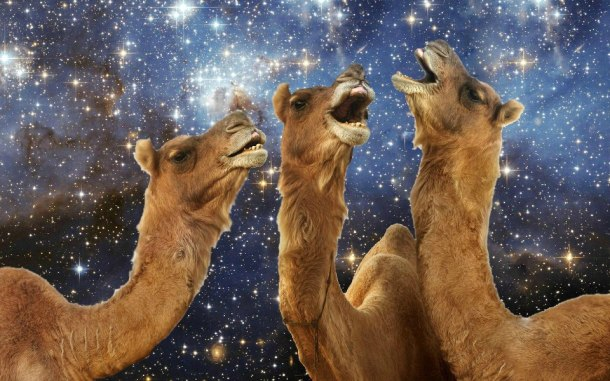 singing camels